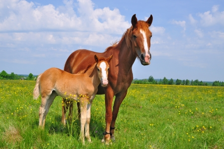 Foal with a mare on a summer pasture 스톡 콘텐츠