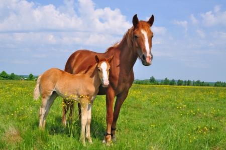 yegua: Foal con una yegua en un Potrero de verano