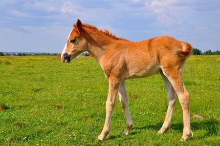 horseflesh: Foal  on a summer pasture Stock Photo