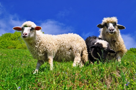 Sheep in a rural landscape Stock Photo