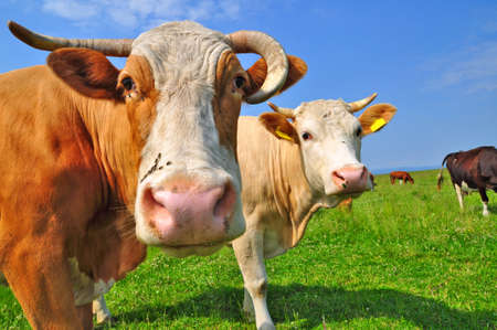 Cows on a summer pasture Stock Photo - 9766304