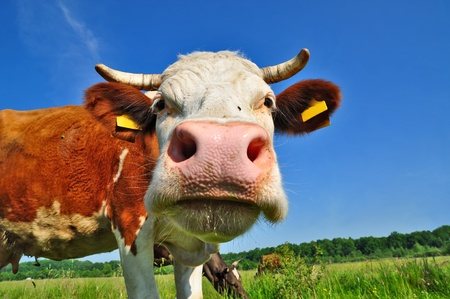Cow on a summer pasture Stock Photo - 9856630