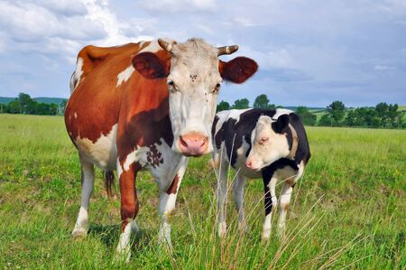 The calf near mother on a summer pasture Stock Photo - 9856634