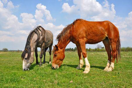 horseflesh: Horses on a summer  pasture
