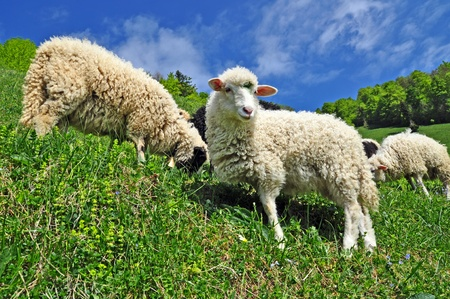 Sheep in a rural landscape Stock Photo - 9856671