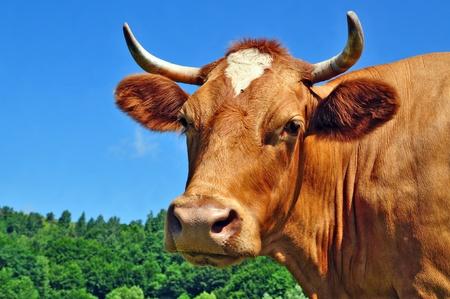 vaca: La cabeza de una vaca