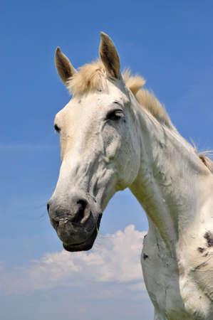 horseflesh: Head of a horse