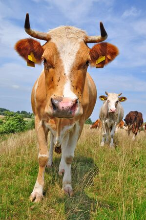 Cow on a summer pasture Stock Photo - 10120273