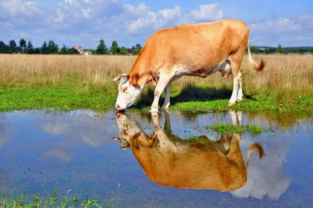Cow on a summer pasture after a rain Stock Photo