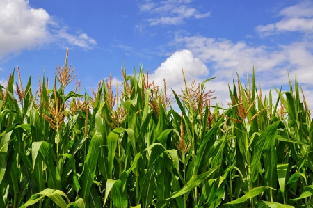Green stalks of corn under clouds Stock Photo