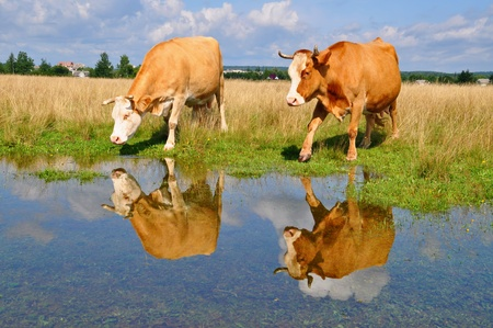 Cows on a summer pasture after a rain photo