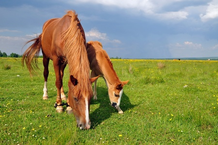 horseflesh: Foal with a mare on a summer pasture Stock Photo