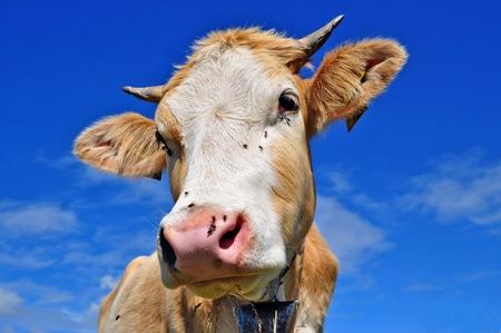 Head of the calf photo