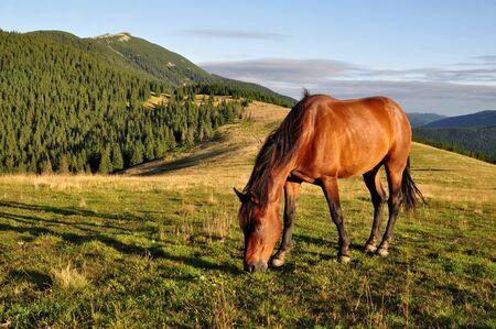 horseflesh: Horse on a summer mountain pasture