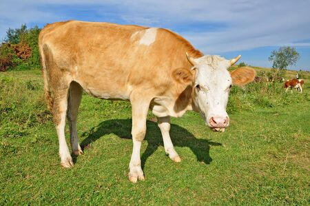 The calf on a summer pasture Stock Photo - 10532682