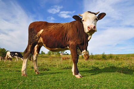 The calf on a summer pasture Stock Photo - 10532672