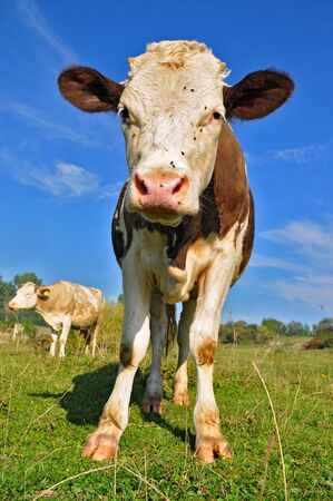 The calf on a summer pasture Stock Photo - 10569722