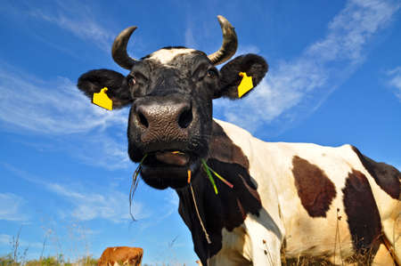 Cow on a summer pasture Stock Photo - 10569719