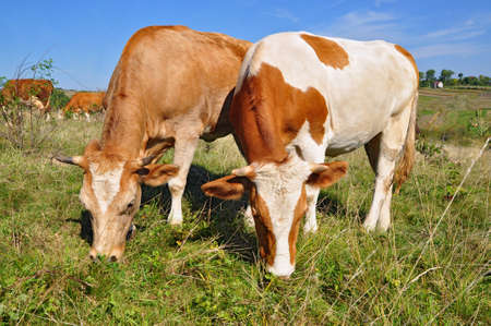Calfs on a summer pasture Stock Photo - 10569731