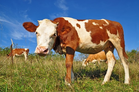The calf on a summer pasture Stock Photo - 10585550