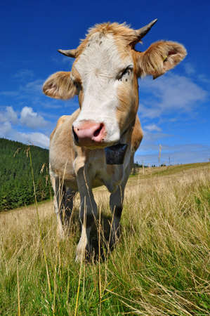 The calf on a summer pasture Stock Photo - 10628858