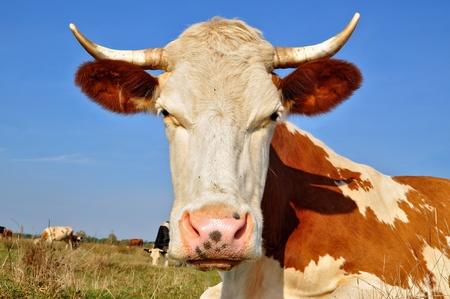 Head of a cow photo