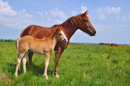 Foal with a mare on a summer pasture. photo