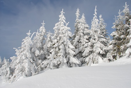Winter hillside with firs