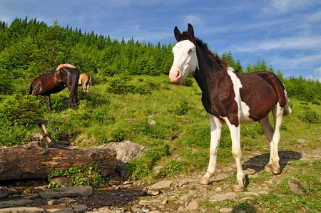Foal on a mountain summer pasture photo