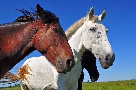 Heads of a horses photo