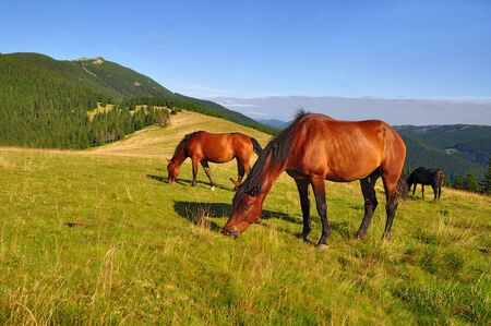 steed: Horses on a summer mountain pasture Stock Photo