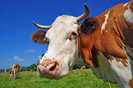 Head of a cow Stock Photo - 11600540