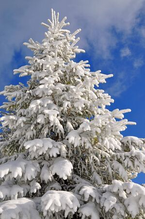 Fir under snow photo