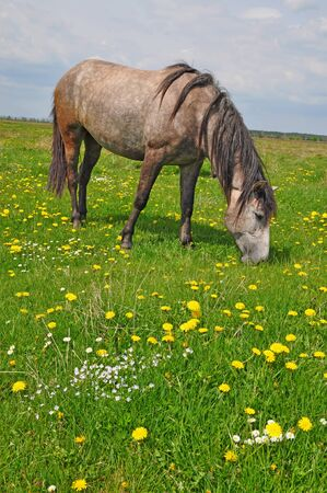 steed: Horse on a summer pasture