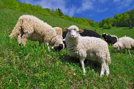 Sheep in a rural landscape. photo