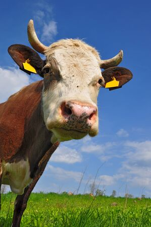 Head of a cow Stock Photo - 11797585