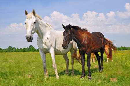 steed: Horses on a summer pasture Stock Photo