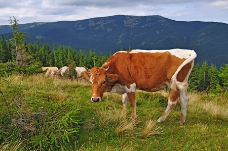 The calf on a summer mountain pasture.  photo