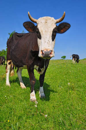 Cow on a summer pasture Stock Photo - 11871516