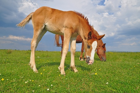 steed: Foal with a mare on a summer pasture Stock Photo