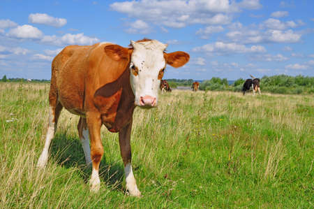 The calf on a summer pasture photo