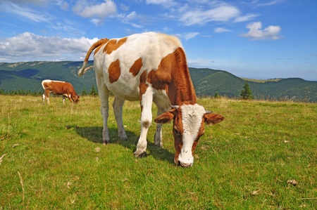 The calf on a summer mountain pasture Stock Photo - 12033142