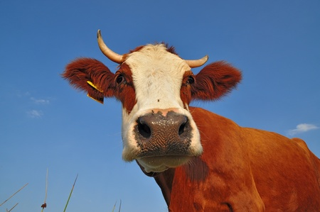 Cow on a summer pasture Stock Photo - 12435426