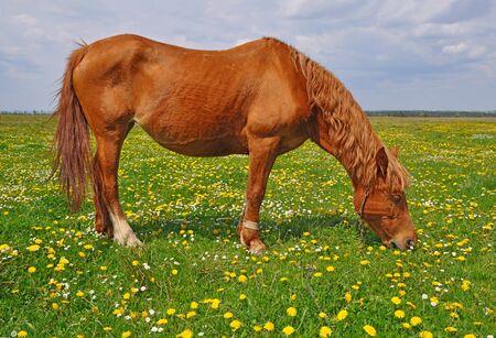 horseflesh: Horse on a summer pasture