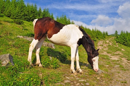 horseflesh: Foal on a mountain summer pasture Stock Photo