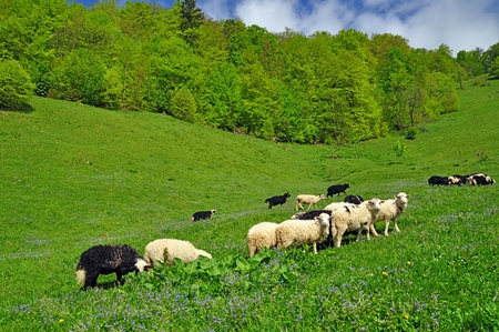 Sheep in a rural landscape photo