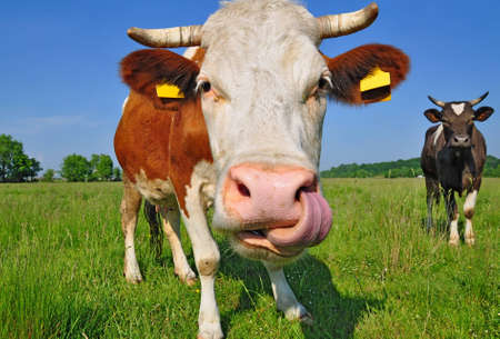 Cow on a summer pasture Stock Photo - 12435728