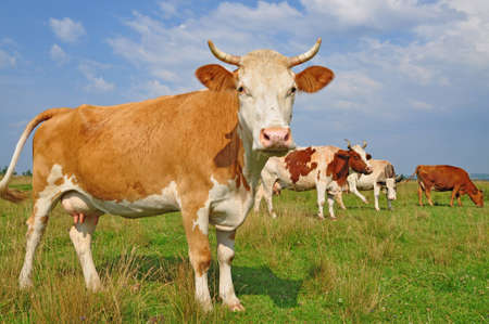 Cows on a summer pasture Stock Photo - 12435632