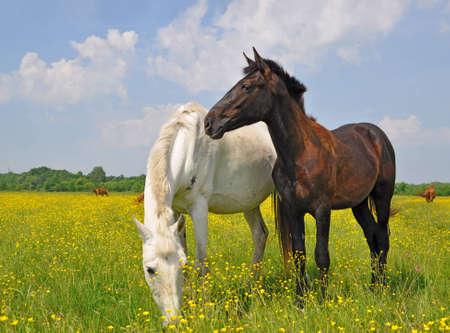 horseflesh: Horses on a summer pasture Stock Photo