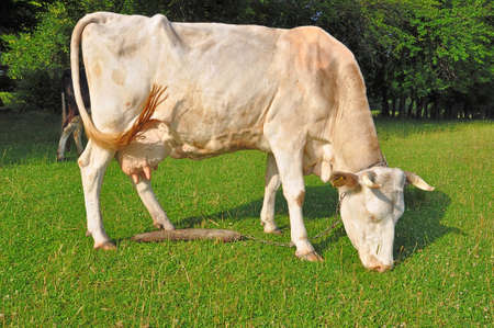 Cow on a summer pasture Stock Photo - 12794114